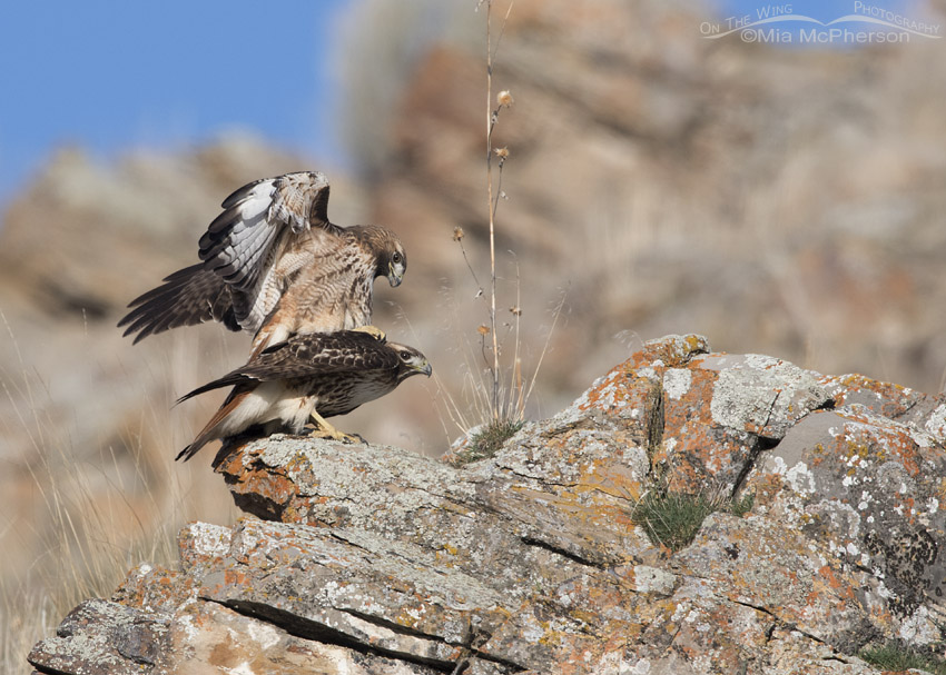 Mating Red-tailed Hawks in Box Elder County