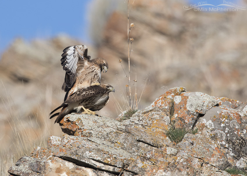 Male Red-tailed Hawk calling while mating