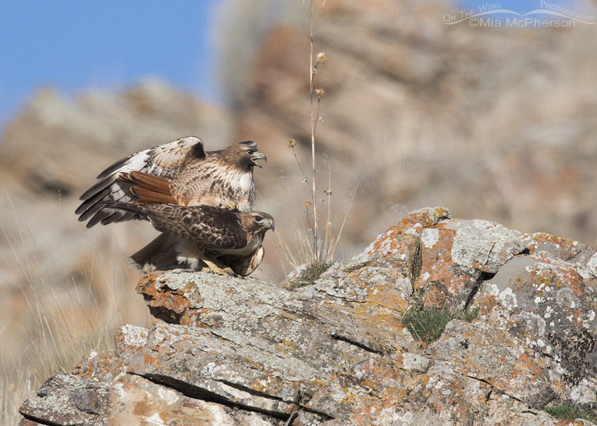 Pair of Red-tailed Hawks mating on lichen covered rocks
