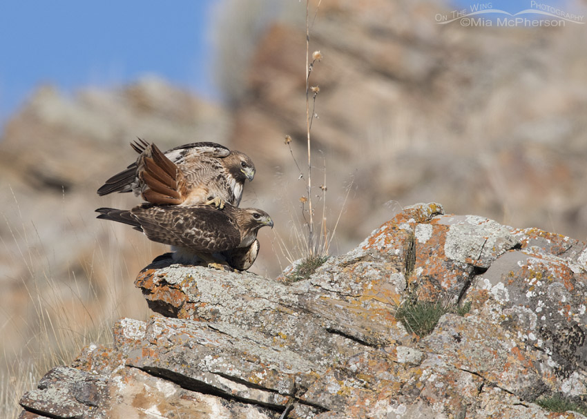 Red-tailed Hawks on the rocks