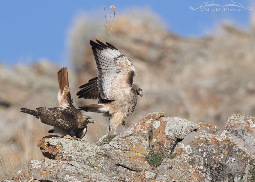 Red-tailed Hawks after mating