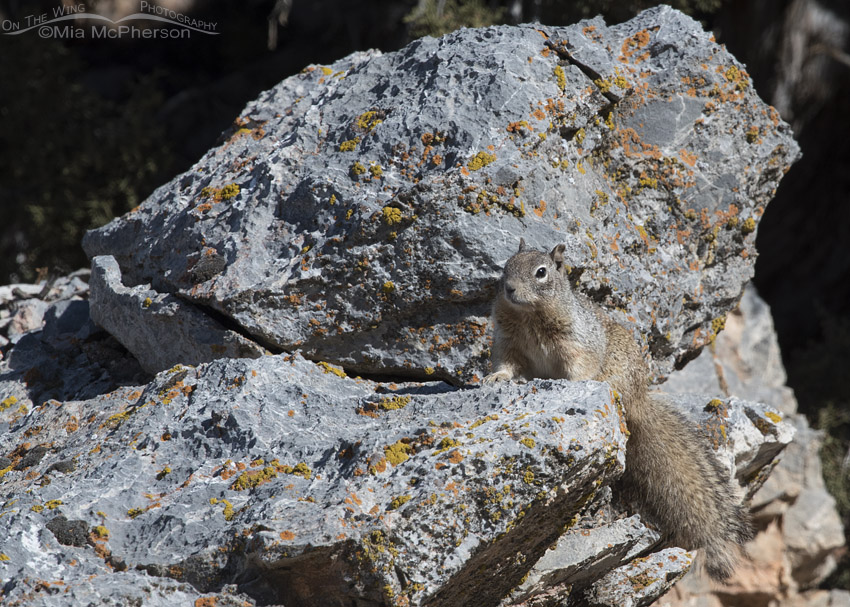 Rock Squirrel on a large boulder