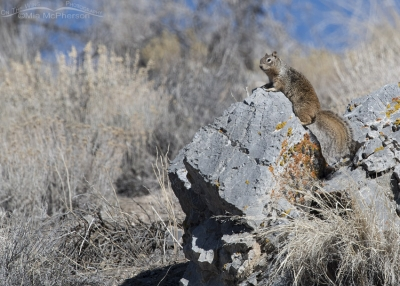 Rock Squirrel up a hill on a lichen covered boulder