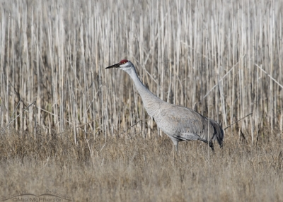 Male Sandhill Crane keeping an eye on his mate