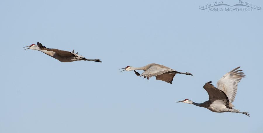 Three Sandhill Cranes in morning flight