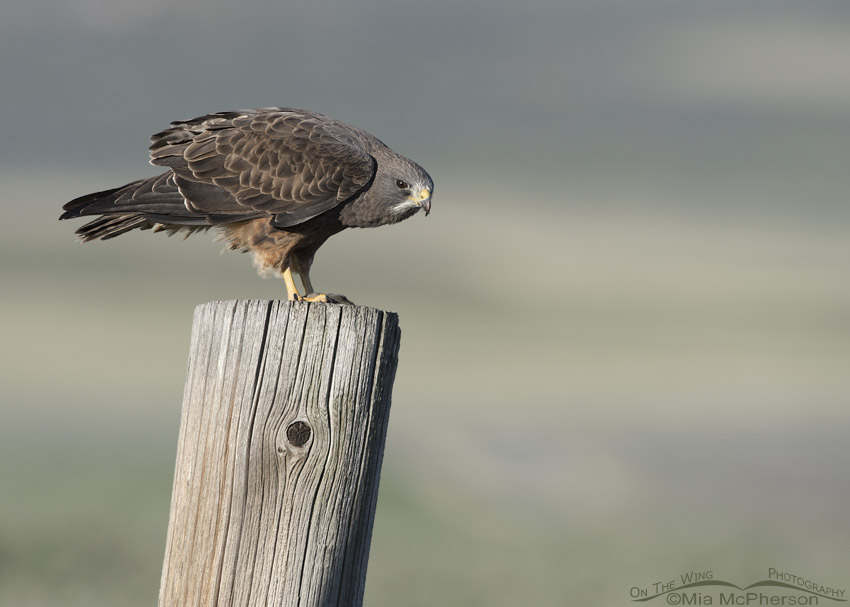 Swainson's Hawk perched on a large fence post