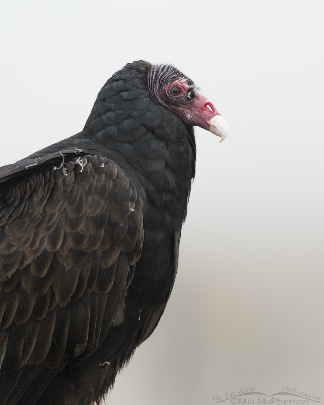 Foggy Turkey Vulture portrait