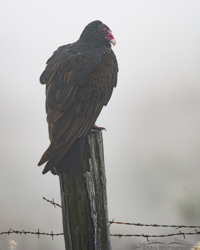 Turkey Vulture perched in a fog