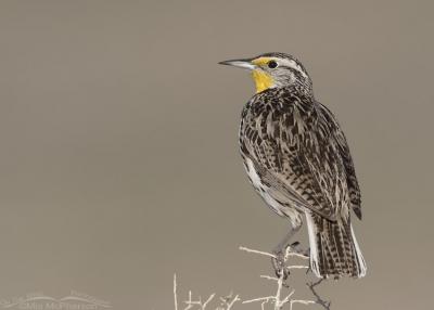 Western Meadowlark perched on Greasewood