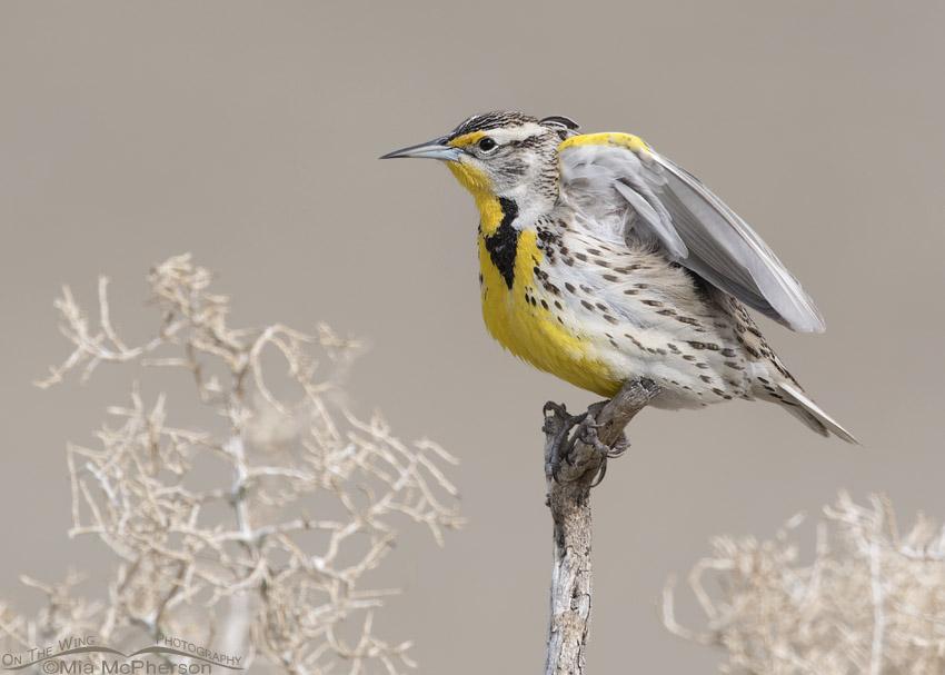 Western Meadowlark wing lift