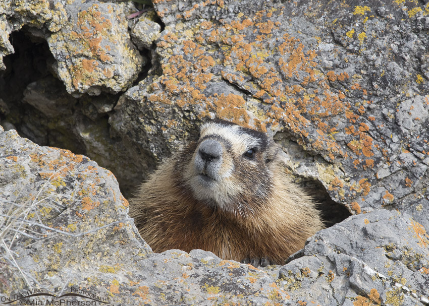 Curious Yellow-bellied Marmot