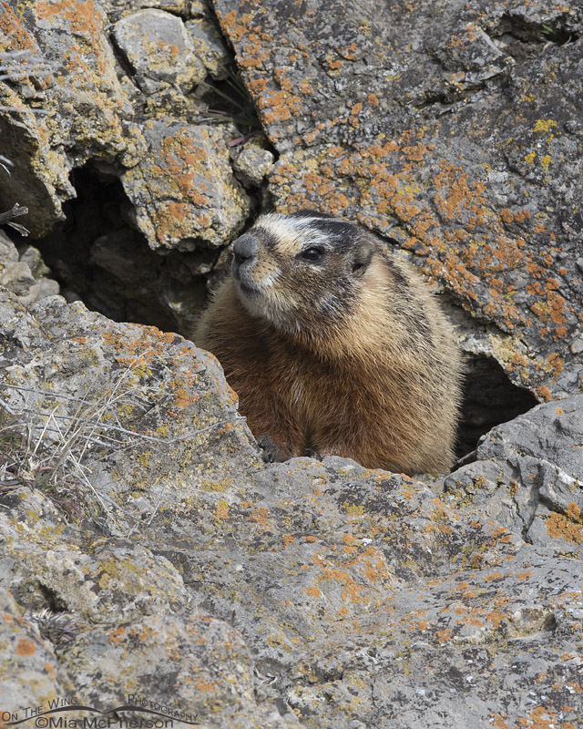 Yellow-bellied Marmot in a crevice