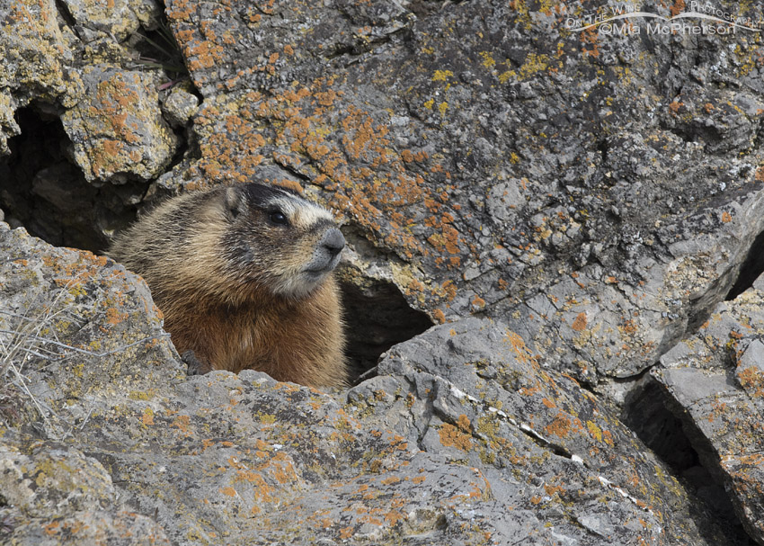 Yellow-bellied Marmot on the rocks