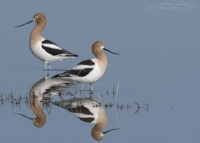 Pair of American Avocets in the marsh of Bear River MBR