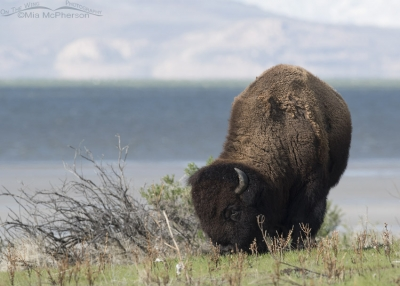 Bison bull grazing on spring grasses