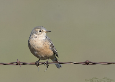 Pale adult American Pipit