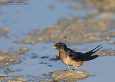 Barn Swallow with a bill full of mud