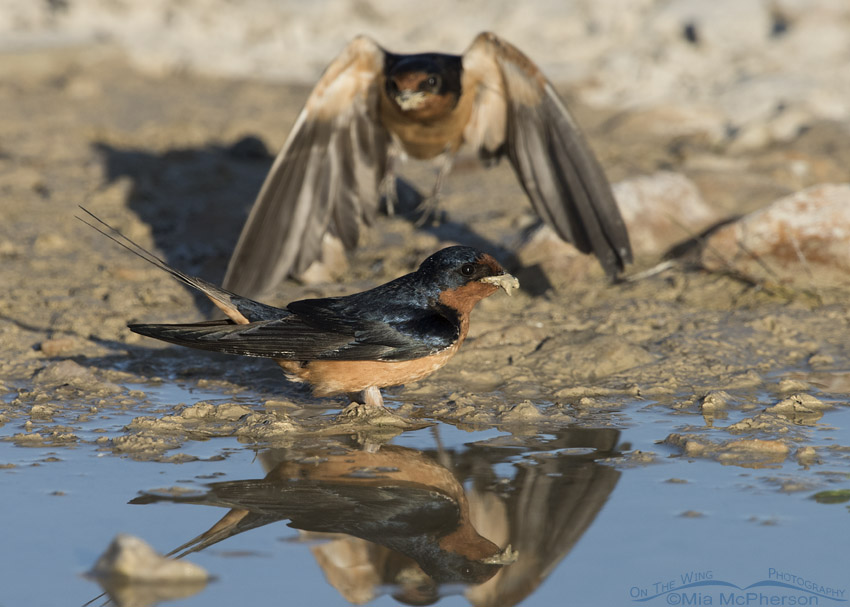 Barn Swallow photo bomb