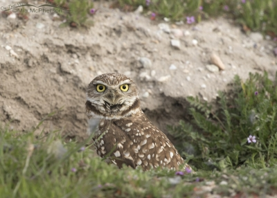 Burrowing Owl adult at burrow on a cloudy day