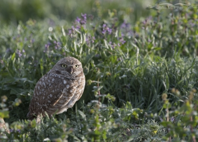 Side lit male Burrowing Owl in wildflowers