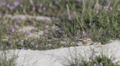 Female Burrowing Owl peeking out of her burrow