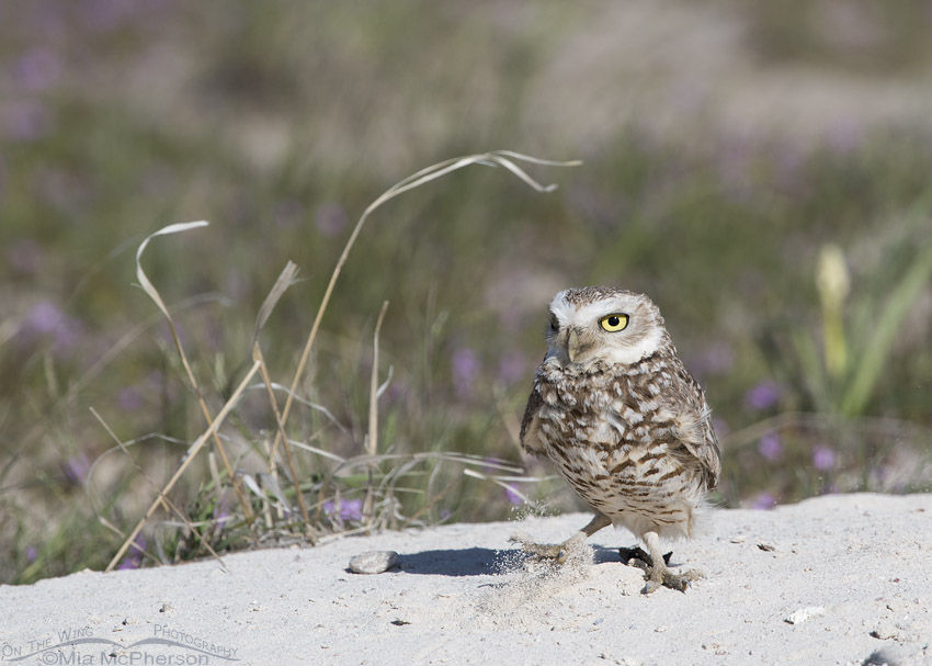 Burrowing Owl and blowing sand