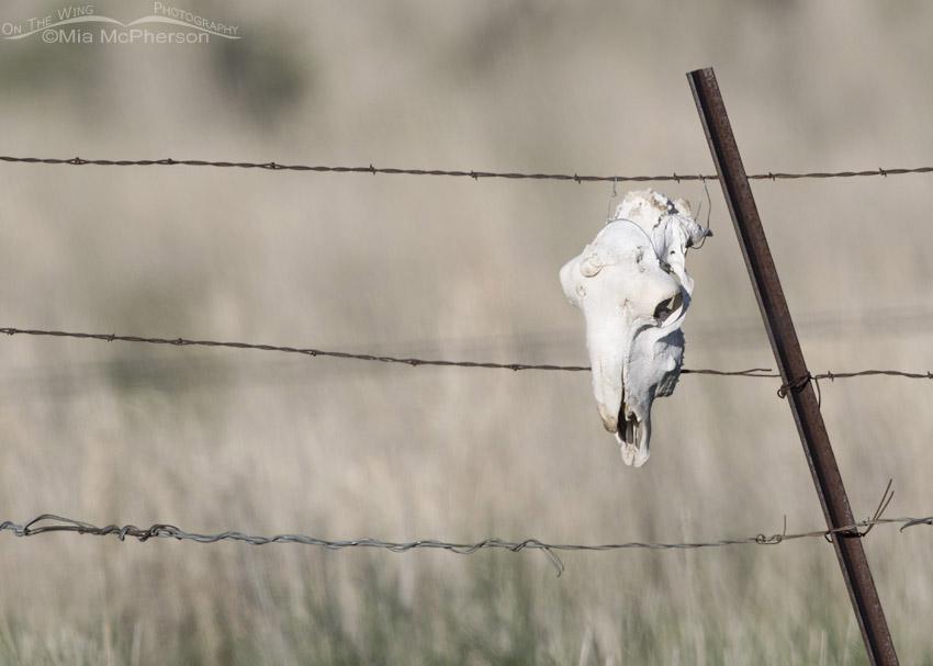 Skull on a fence