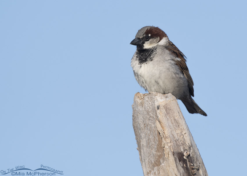 Perched male House Sparrow