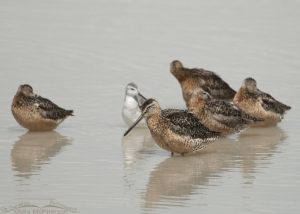 Long-billed Dowitchers at Red Rock Lakes National Wildlife Refuge