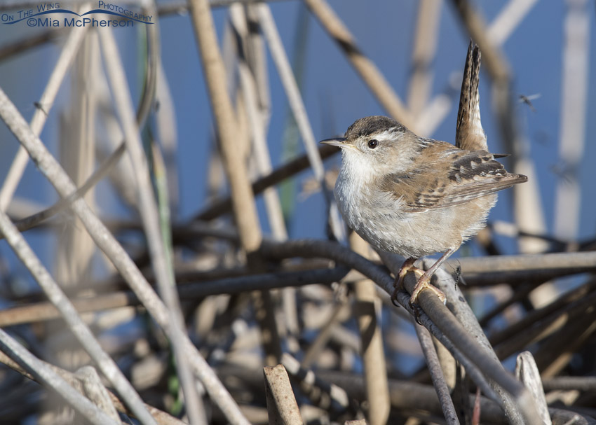 Marsh Wren with Midges at Bear River MBR