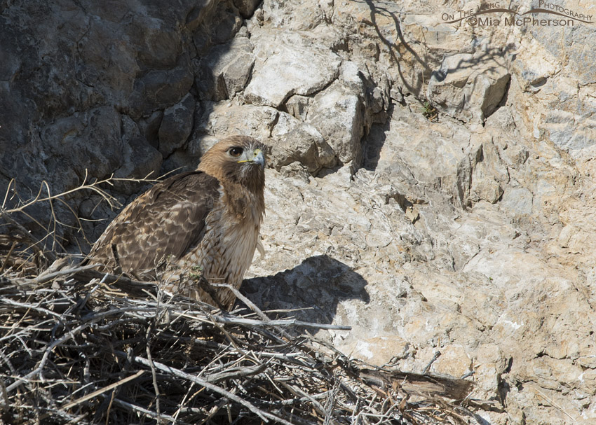 Red-tailed Hawk on a cliff face nest