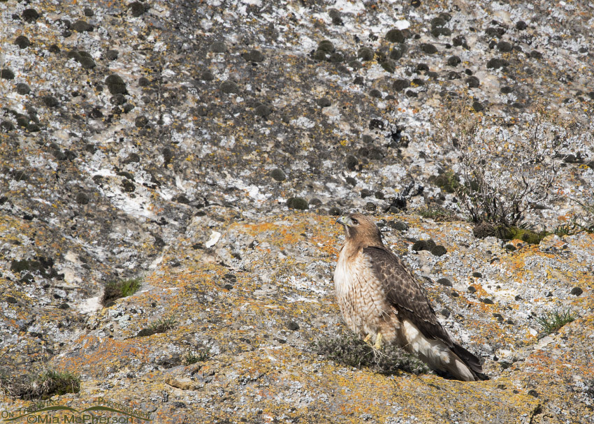 Red-tailed Hawk on a lichen covered cliff face