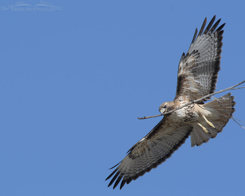 Red-tailed Hawk flying over with nesting materials