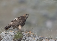 Red-tailed Hawk on a rocky perch