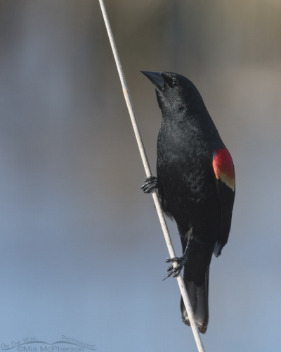 Sleek male Red-winged Blackbird