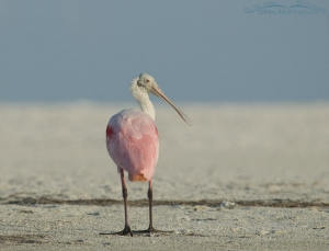 Roseate Spoonbill looking over its shoulder