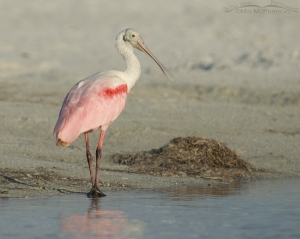 Roseate Spoonbill standing at the edge of the lagoon