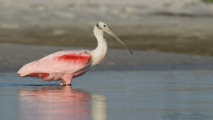 Roseate Spoonbill in a saltwater lagoon
