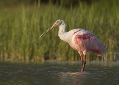 Sunset with a Roseate Spoonbill