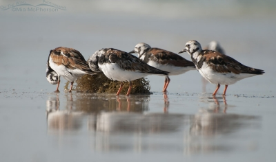Small flock of Ruddy Turnstones