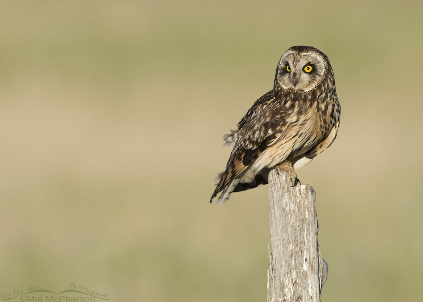 Female Short-eared Owl on the way to the auto tour route