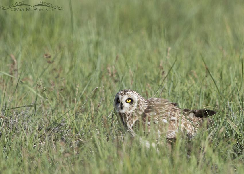 Male Short-eared Owl in spring grasses