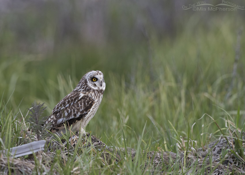 Low light Short-eared Owl in Idaho