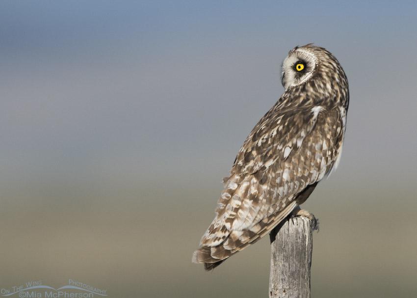 Early morning male Short-eared Owl in Montana