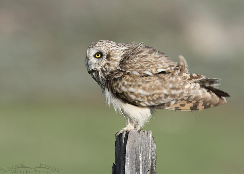 Male Short-eared Owl rousing in Utah