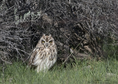 Sleepy Short-eared Owl male