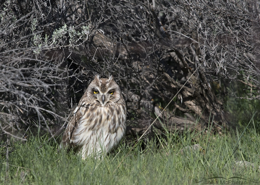 Sleepy Short-eared Owl male