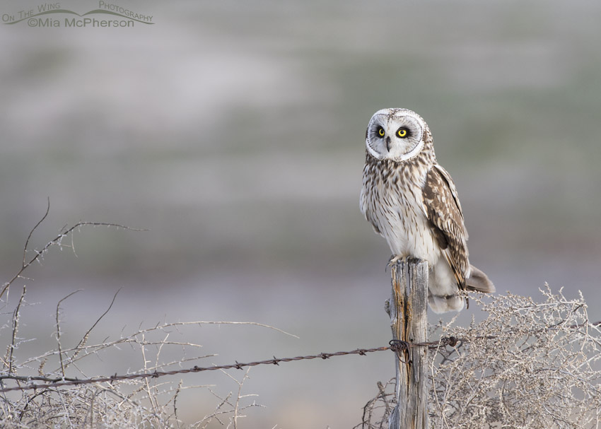 Tumbleweeds with a male Short-eared Owl