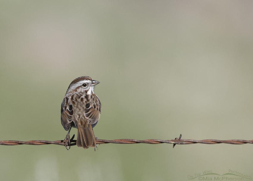 Spring Song Sparrow