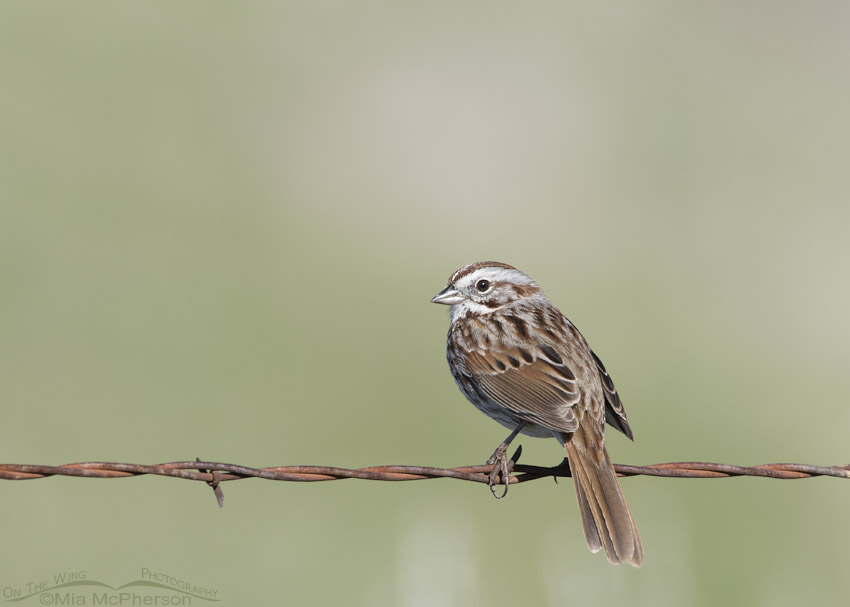 Box Elder County Song Sparrow